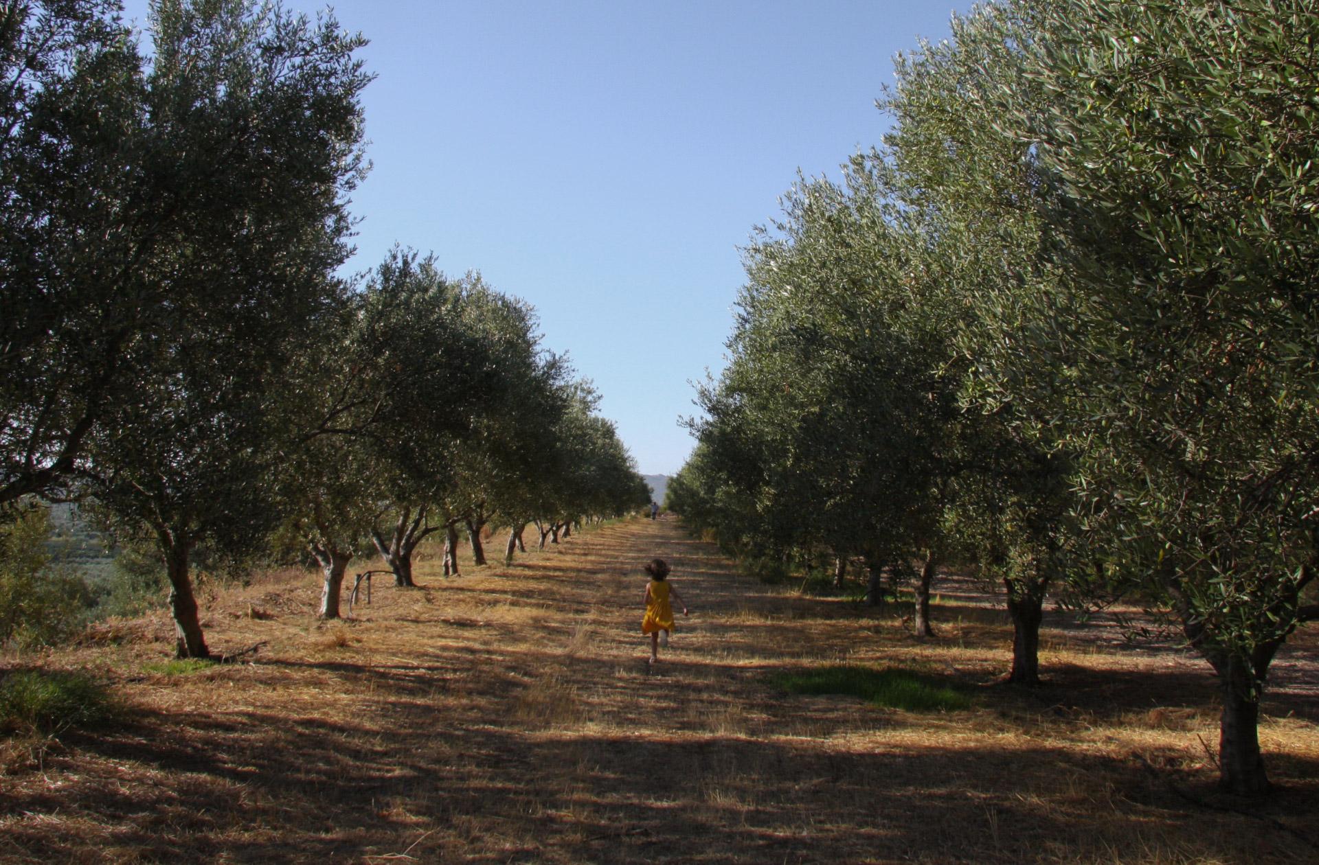 Feld mit Oliven